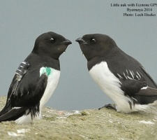 Little auk with Ecotone GPS logger